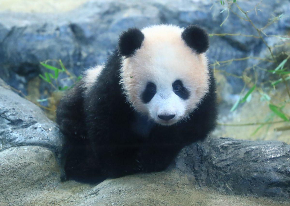 上野動物園の人気アイドル・ジャイアントパンダにもいろんな歴史がありました